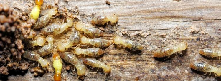 Diagnostic Termite